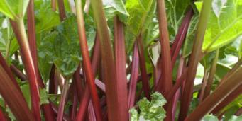 feat-rhubarb
