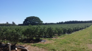 Quality Control Fields - Blueberries-Blauwe bessen-Heidelbeeren-Arándanos-Myrtilles-Blåbär-Blåbaer-Mustikad-Mellenes-Mėlynės-черника.4jpg