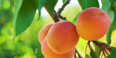 main-image-abricots