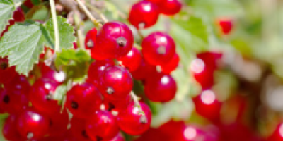 feat-redcurrants